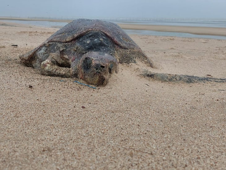 પ્લાસ્ટિક પ્રાણઘાતક છેઃ માંડવી બીચ પર દરિયાઈ જીવસૃષ્ટિ માટે બીચ સફાઈ અભિયાન|ભુજ,Bhuj - Divya Bhaskar