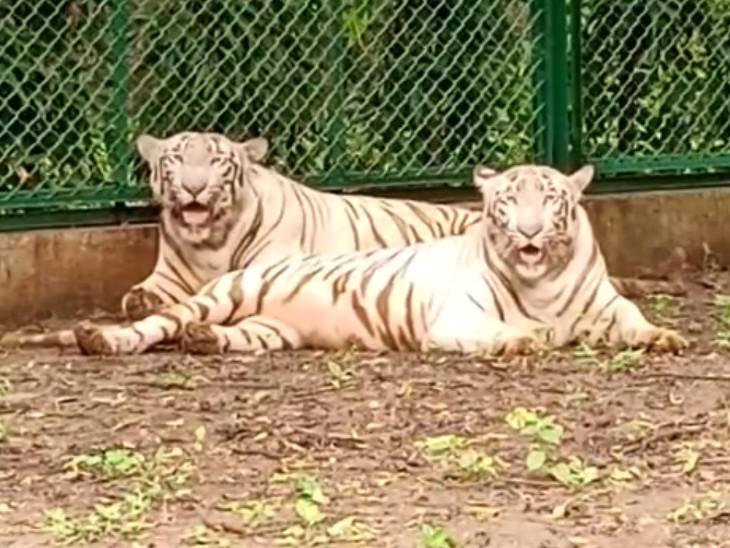 પ્રાણી સંગ્રહાલયમાં આજથી રાજકોટથી લવાયેલી સફેદ વાઘની જોડી જોવા મળશે - Divya Bhaskar