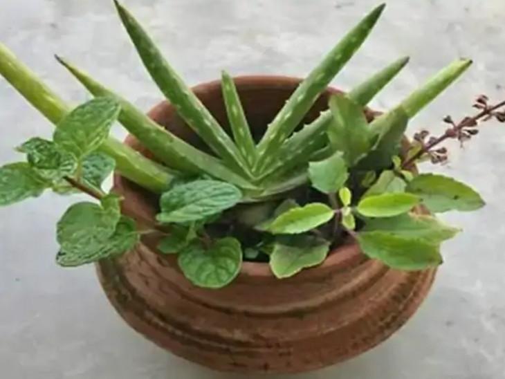 આજે ઘરના કુંડામાં બીમારીઓથી બચાવી શકે તેવા 9 ઔષધીય છોડ વાવવા જોઈએ|ધર્મ,Dharm - Divya Bhaskar