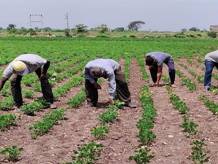 વીરપુરમાં વરસાદ ખેંચાતા ખેડૂતો ચિંતિત|વીરપુર (રાજકોટ),Virpur (Rajkot) - Divya Bhaskar