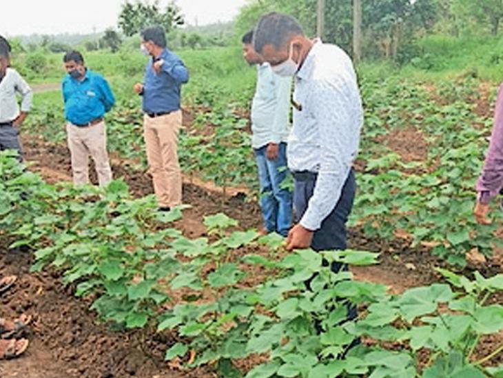 કોઠીયા, ચામેઠાના ખેતરોમાં જિલ્લા ખેતીવાડી અધિકારી, કૃષિ નિષ્ણાતોએ કપાસના છોડ જોઈ ખેડૂતો સાથે ચર્ચા કરી હતી. - Divya Bhaskar