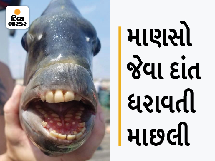 નોર્થ કેરોલિનામાં માણસો જેવા દાંતવાળી માછલી મળી, તેના દાંત 3 ફૂટ સુધી લાંબા થાય છે, યુઝરે લખ્યું, આ બત્રીસી ક્યાંથી લાવી?|લાઇફસ્ટાઇલ,Lifestyle - Divya Bhaskar