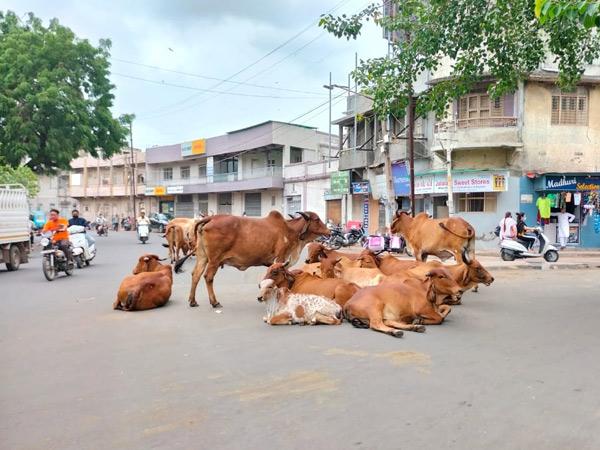જામનગર શહેરમાં ભાગ્યે જ કોઇ વિસ્તાર એવો હશે, જ્યાં રખડતા ઢોર ન દેખાય છતાં ફક્ત 2 ટીમ. - Divya Bhaskar