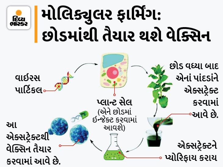 મોલિક્યુલર ફાર્મિંગથી છોડમાંથી કોરોના વાઈરસની CoVLP વેક્સિન ડેવલપ કરાઈ, વૈજ્ઞાનિકોનો દાવો- ઓછી કિંમત અને ઓછા સમયમાં તૈયાર થશે વેક્સિન|હેલ્થ,Health - Divya Bhaskar