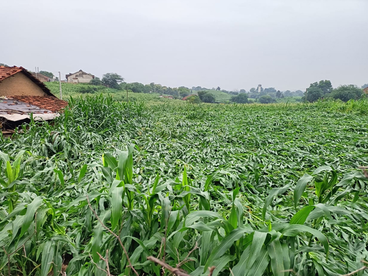 દાહોદ જિલ્લામાં વરસાદ સાથે 40 કિમીની ઝડપે પવન ફૂંકાતા સંખ્યાબંધ ખેતરોમાં મકાઇને નુકસાન, ખેતીવાડી વિભાગે સરવે શરૂ કર્યો|દાહોદ,Dahod - Divya Bhaskar