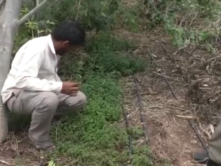પ્રાકૃતિક ખેતીના કારણે જમીનની ફળદ્રુપતા વધી હોવાનું દિનેશભાઈ કહે છે.