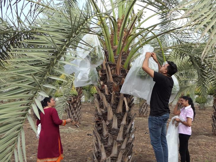 યોગ્ય જતન કરાય તો ખારેકના ઝાડ 60થી 70 વર્ષ સુધી ઉત્પાદન આપે છે.