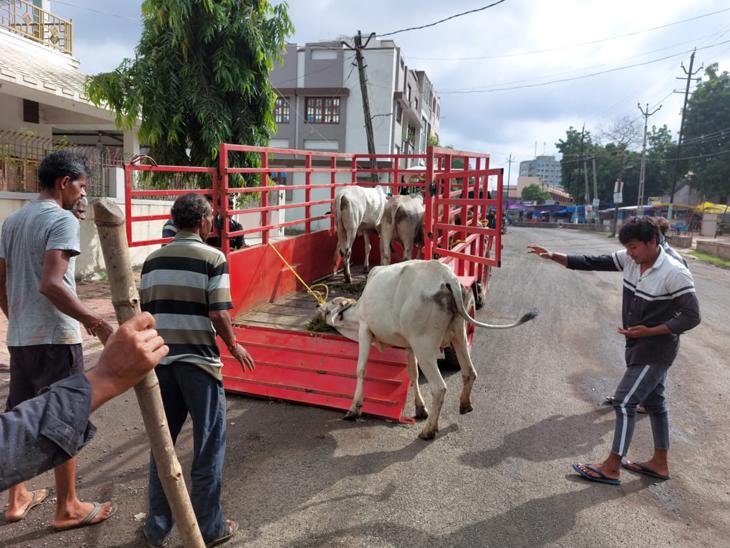 માંડવી નગરપાલિકા વિસ્તારમાં ઢોર પકડવાનું અભિયાન શરૂ કરાયુ હતુ. - Divya Bhaskar