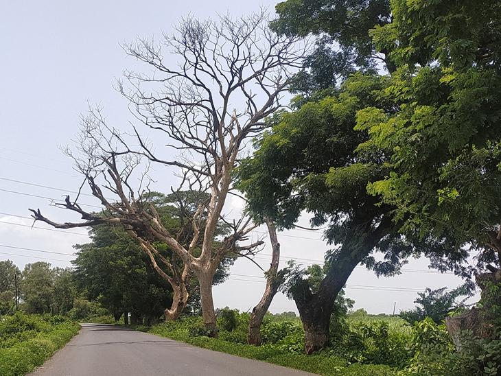 બારડોલી ગલતેશ્વર રોડ પર ટીમ્બા ગામની સીમમાં વૃક્ષોરાપણ કર્યા બાદ કોઈ પણ પ્રકારની કાળજી લેવામાં આવી રહી નથી. - Divya Bhaskar