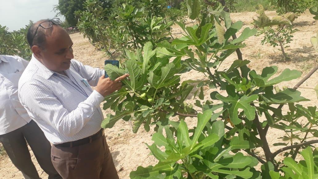 પાટડીના વણોદ ગામના પ્રગતિશીલ ખેડૂતે રણની બંજર જમીનમાં અંજીરની ખેતી કરી એક લાખની આવક મેળવી - Divya Bhaskar