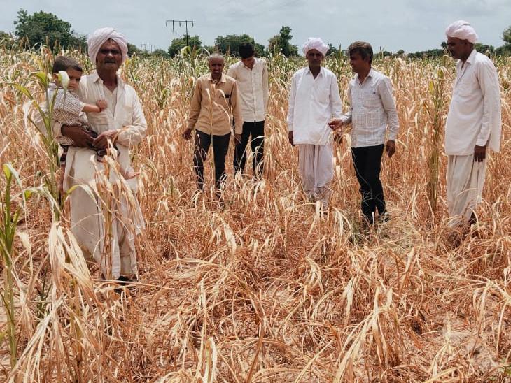 ડીસાના જાવલ સહિતના ગામોમાં બાજરી સહિતનો પાક બળી ગયો - Divya Bhaskar