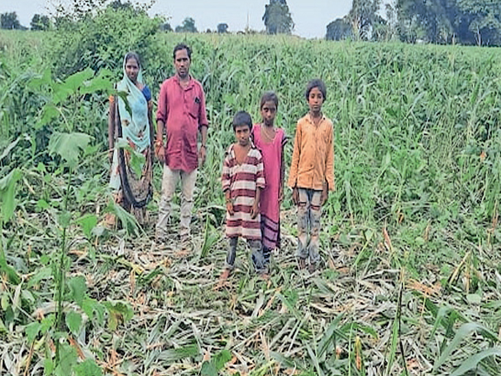 જેમલગઢ, આલિયા ઘોડા પેટા ફળીયાના ખેડૂતની મકાઈ ભૂંડો બગાડી પાક બતાવતા પરિવારની તસવીર. - Divya Bhaskar