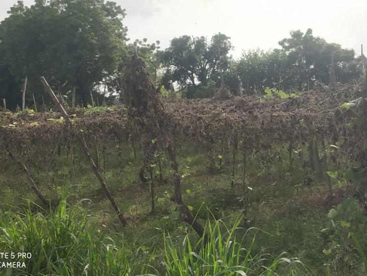 વરસાદના ભરોસે ખેડૂત પુત્રોએ કપાસ જુવાર, બાજરી, શાકભાજી વગેરે પાકોનું વાવેતર કર્યું છે. - Divya Bhaskar