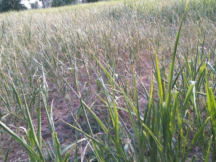 પાટણ જિલ્લામાં વરસાદ નહીં થતાં 50% બાકી ખેતી ન થવાની સંભાવના|પાટણ,Patan - Divya Bhaskar