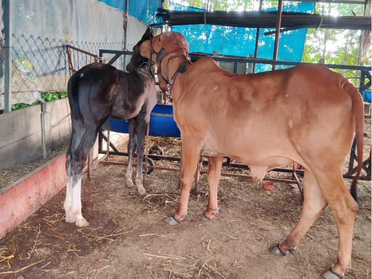 ગર્ભવતી ગાયનું વછેરાને વ્હાલ, મા બાજુમાં હોવા છતાં 'ગજાવર' ગાય પાસે ઉભો રહી જાય છે, વિડીયો આવ્યો સામે...|મારું ગુજરાત,Gujarat - Divya Bhaskar