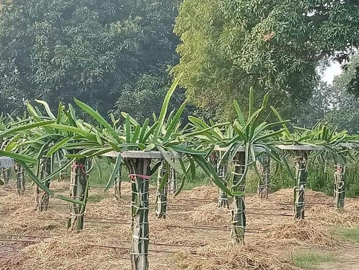 રાજ્યમાં હાલમાં 25 જિલ્લાઓમાં કમલમ ફળના બગીચા 1200 હેકટર જેટલી જમીનમાં ઉછેરવામાં આવ્યાં છે.