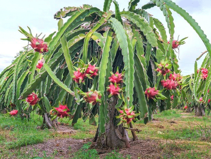 રાજ્ય સરકારે અમદાવાદમાં ફાર્મ ફ્રેશ-કમલમ અને ફળ મહોત્સવ શરૂ કર્યો છે - Divya Bhaskar