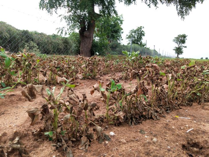 મગફળીનો પાક વરસાદની ખેંચમાં સૂકાતો જોવા મળે છે. - Divya Bhaskar