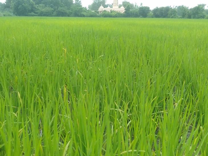 વરસાદ આવતા જ હવે ડાંગરના પાકનું સારુ ઉત્પાદન મળશે તેવી અપેક્ષા બંધાઈ છે. - Divya Bhaskar
