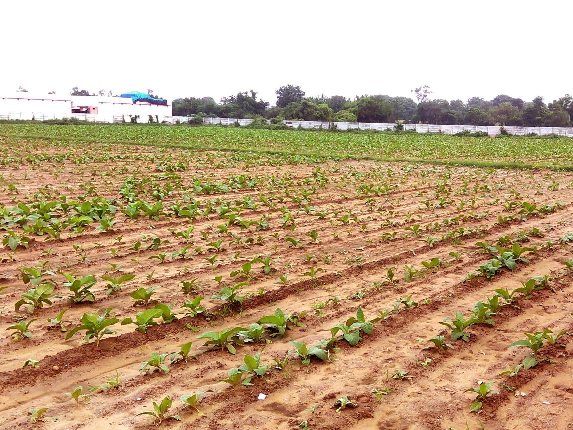 ખેડા જિલ્લામાં વરસાદ પડતાની સાથે દેશી તમાકુની રોપણી શરૂ થઈ|નડિયાદ,Nadiad - Divya Bhaskar