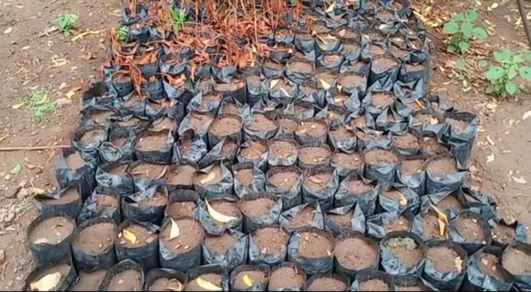 સુરેન્દ્રનગર જિલ્લા વન વિભાગ હસ્તકની નર્સરીમાં લાખોની કિંમતના રોપાઓ યોગ્ય જાળવણીના અભાવે સૂકાઈ ગયા - Divya Bhaskar
