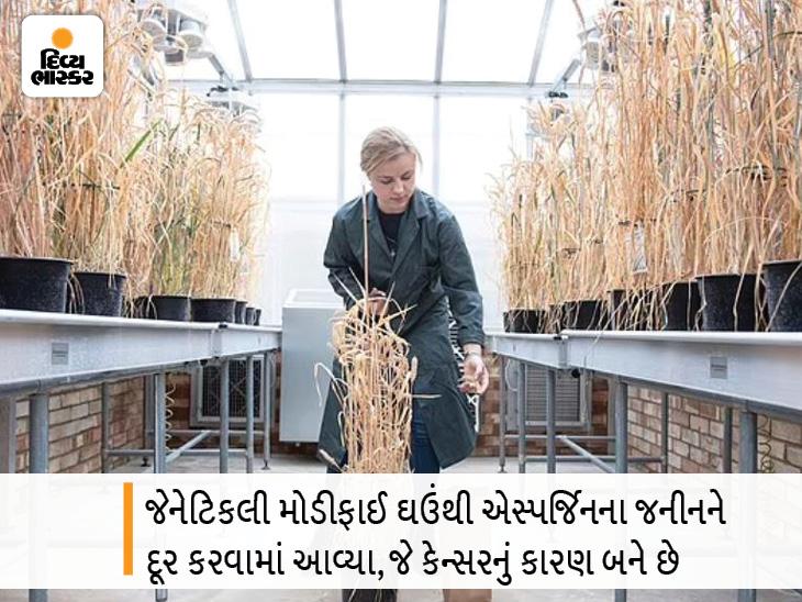 વૈજ્ઞાનિકોએ જેનેટિકલી મોડિફાઈડ ઘઉંની ખાસ જાત વિકસિત કરી, તેમાંથી કેન્સરનું કારણ બનતા તત્ત્વને દૂર કરવામાં આવ્યું હેલ્થ,Health - Divya Bhaskar