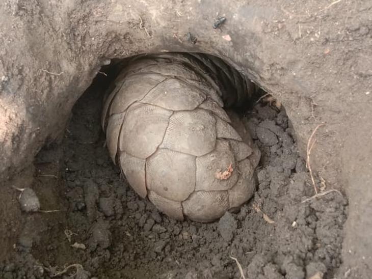લીંભોઈમાં કીડીખાઉં ખાડો ખોદી જમીનમાં ઉતરી ગયું હતુું - Divya Bhaskar