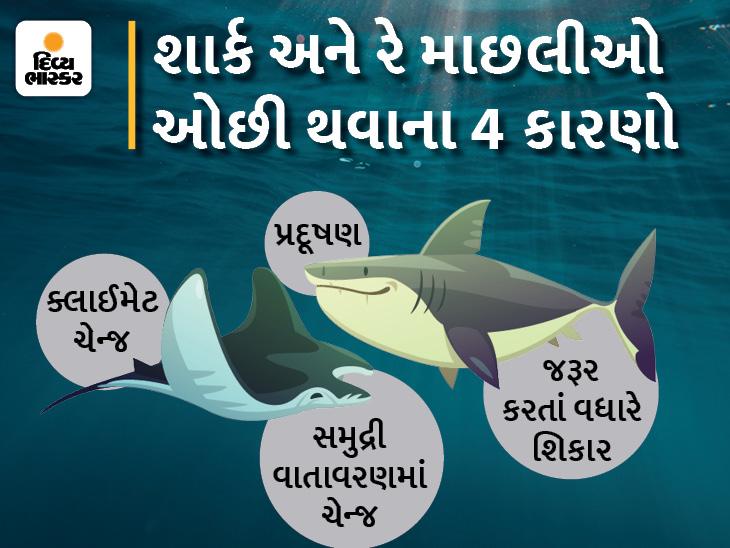 40% શાર્ક અને સ્ટિંગ રે માછલીઓલુપ્ત થવાને આરે, કારણ-ક્લાઈમેટ ચેન્જ અને બેફામ શિકાર, 8 વર્ષમાં જોખમ ડબલ થયું|લાઇફસ્ટાઇલ,Lifestyle - Divya Bhaskar