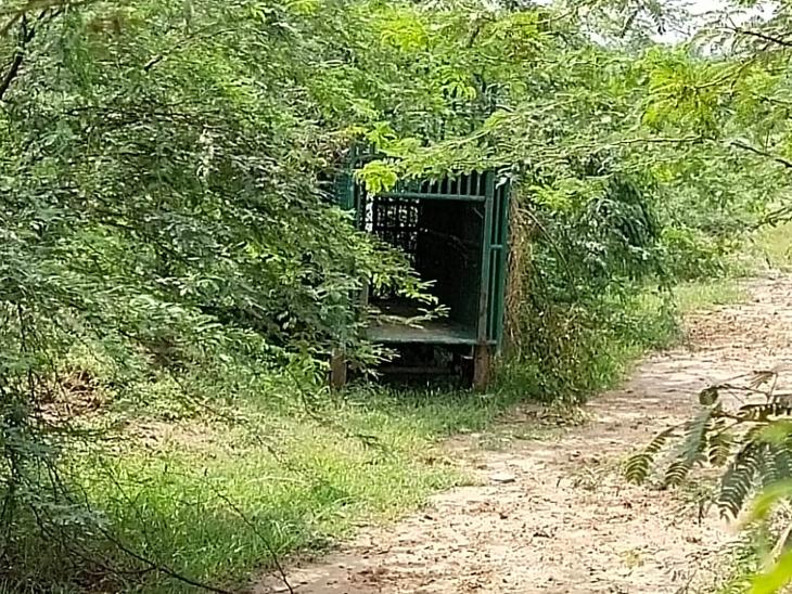 દીપડાને પકડવા માટે વનવિભાગે કેમેરાવાળા પાંજરા ગોઠવ્યા છે. - Divya Bhaskar
