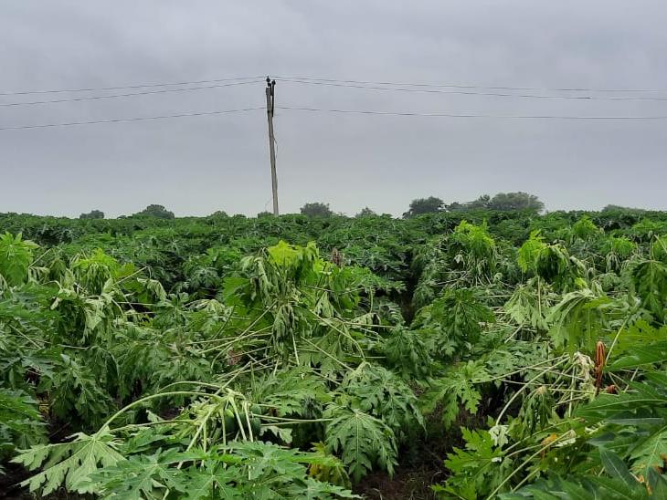 શંકરપુરા કંપા માં વીજળી પડતા પપૈયાંના પાકને નુકસાન થયું. - Divya Bhaskar