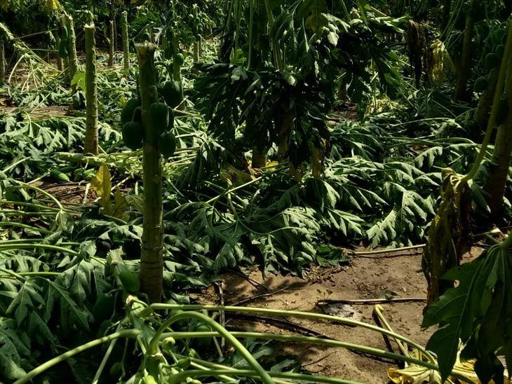 પાલનપુર પંથકમાં મંગળવારે સાંજે વાવાઝોડાથી વૃક્ષો ધરાશાયી થયા હતા.ખેતરમાં ઉભેલો પાક પડી ગયો હતો. - Divya Bhaskar