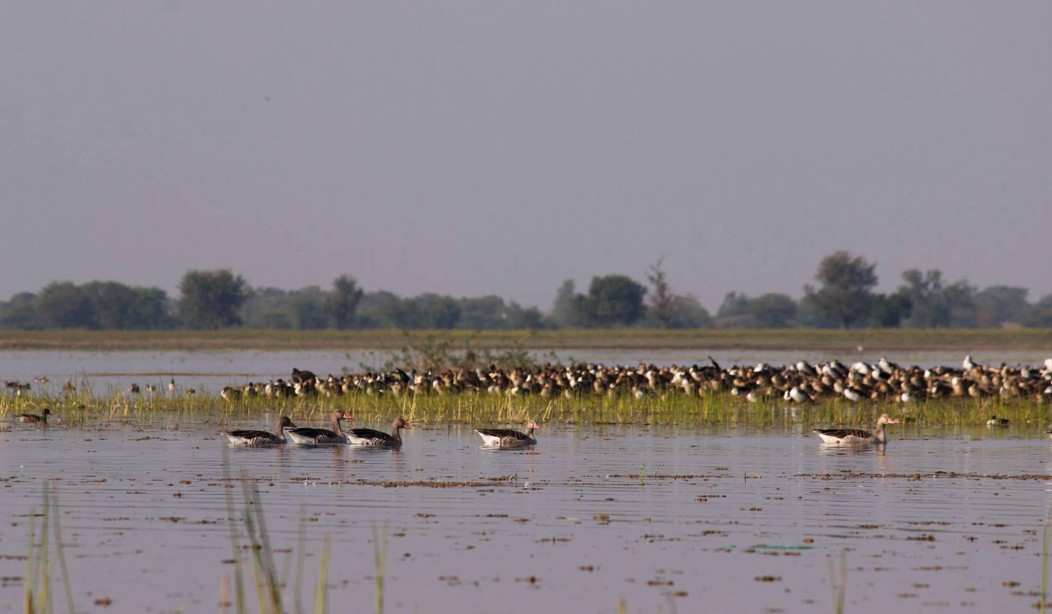 કેટલાક પક્ષીઓ સાઇબિરિયા પ્રાંતમાંથી તો કેટલાક રશિયાની ઓબ નદીનાં ઠંડા વિસ્તારમાંથી આવે છે