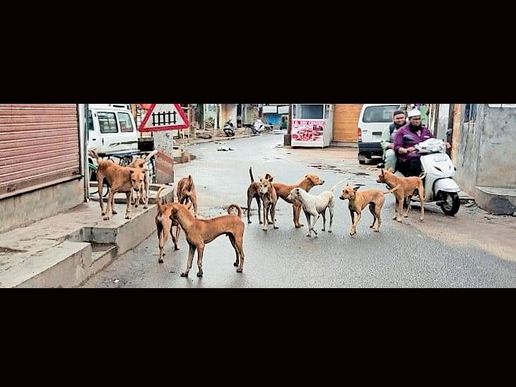 ડભોઇ નગરમાં ઠેરઠેર જોવા મળતાં કુતરાના ઝુંડ. - Divya Bhaskar