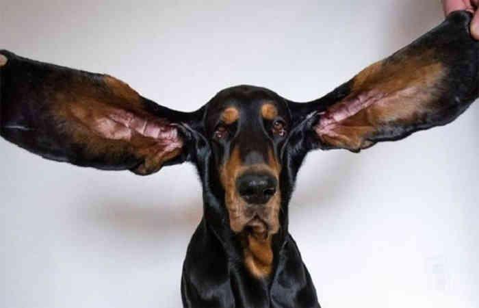 કૂતરાએ 12.38 ઈંચ લાંબા કાનના કારણે ગિનિઝ બુક ઓફ વર્લ્ડ રેકોર્ડમાં પોતાનું નામ નોંધાવ્યું|લાઇફસ્ટાઇલ,Lifestyle - Divya Bhaskar