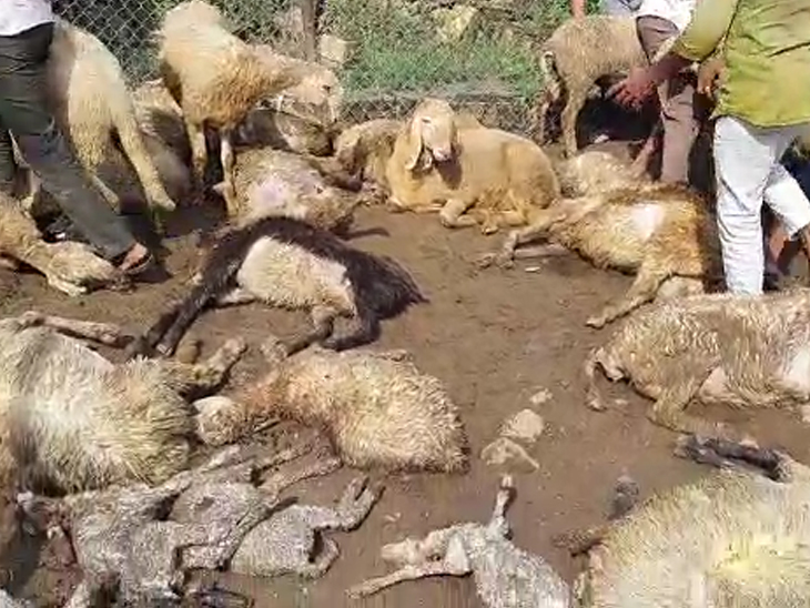 તેમણે 80 જેટલાં ઘેટાં રાખ્યાં હતાં.