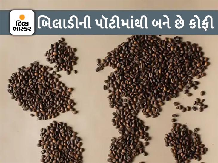 દુનિયાની સૌથી મોંઘી કોફી 'કોપી લુવાક' બિલાડીની પૉટીમાંથી બને છે, 1 કપની કિંમત ₹3000|લાઇફસ્ટાઇલ,Lifestyle - Divya Bhaskar