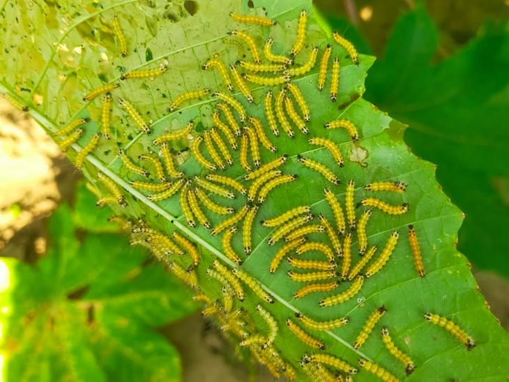દિવેલાના પાક માં લીલી ઈયળોનો ભારે ઉપદ્રવ થયો છે - Divya Bhaskar