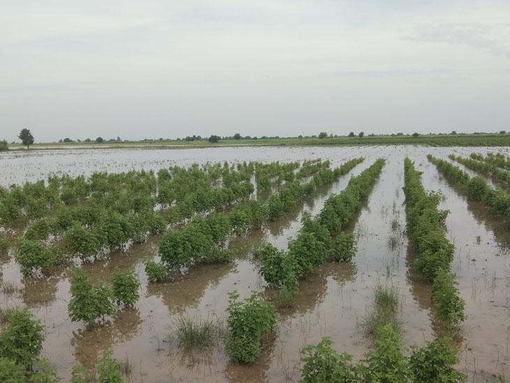 સમી અને શંખેશ્વર તાલુકામાં ખેડૂતોના ખેતરોમાં હજીપણ વરસાદી પાણી ભરાઇ ગયેલ છે. - Divya Bhaskar