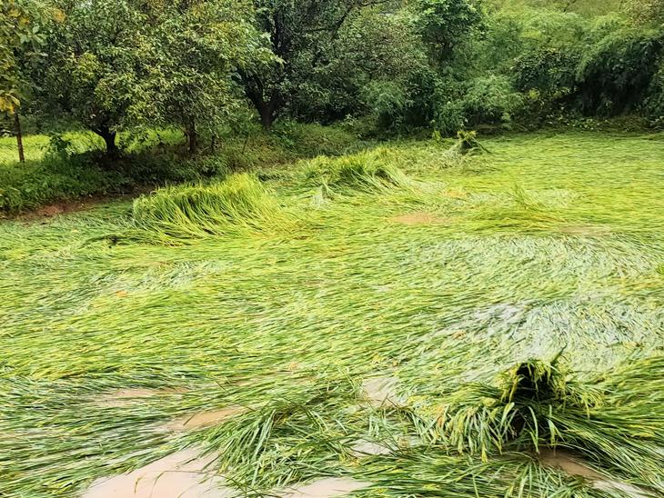 ધરમપુર તાલુકામાં તૈયાર ડાંગરના પાકને નુકસાન થયું