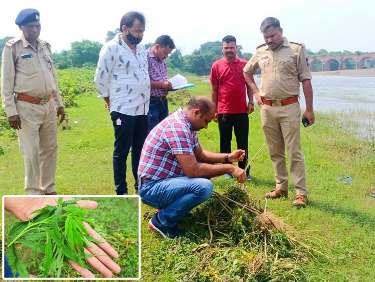 નસવાડી પોલીસે મેણ નદી પાસેથી તણાઈ આવેલા ગાંજાના છોડને લઈ કાર્યવાહી હાથ ધરી હતી. - Divya Bhaskar