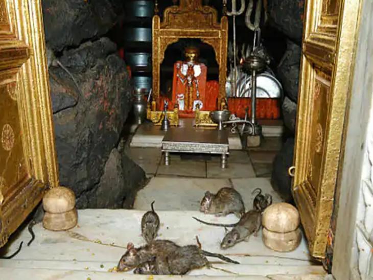 કરણી માતા મંદિર દેશભરમાં ઉંદરોના મંદિરના નામે પ્રસિદ્ધ છે