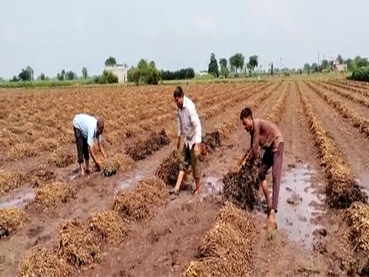 પહેલા અને બીજા નોરતે વીરપુરમાં ભારે વરસાદને પગલે કપાસ, મગફળી સહિતના પાકને મોટું નુકસાન, ખેડૂતોએ સરકાર પાસે સહાયની માંગ કરી રાજકોટ,Rajkot - Divya Bhaskar