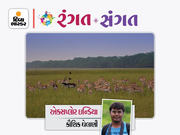 પટ્ટાઇઓનું વિશ્વનું સૌથી મોટું સામુહિક રૂસ્ટિંગ રૂફ - ગુજરાતના વેળાવદરમાં આવેલો અનન્ય ગ્રાસલેન્ડ બ્લેકબક નેશનલ પાર્ક રંગત-સંગત,Rangat-Sangat - Divya Bhaskar